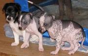 Продаются очаровательные щенки перуанской голой собаки