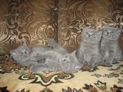 Продам британских клубных голубых котят  с документами.