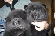 Продаются щенки Чау-чау высокопородные